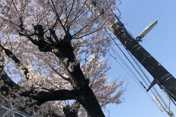 桜が見頃です♡!